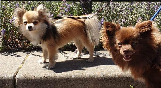 blaffen afleren hond chihuahua